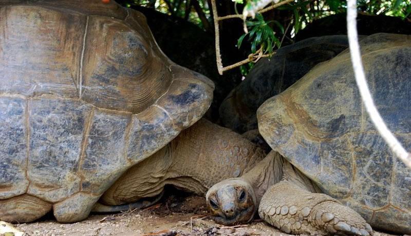 Casela Turtles