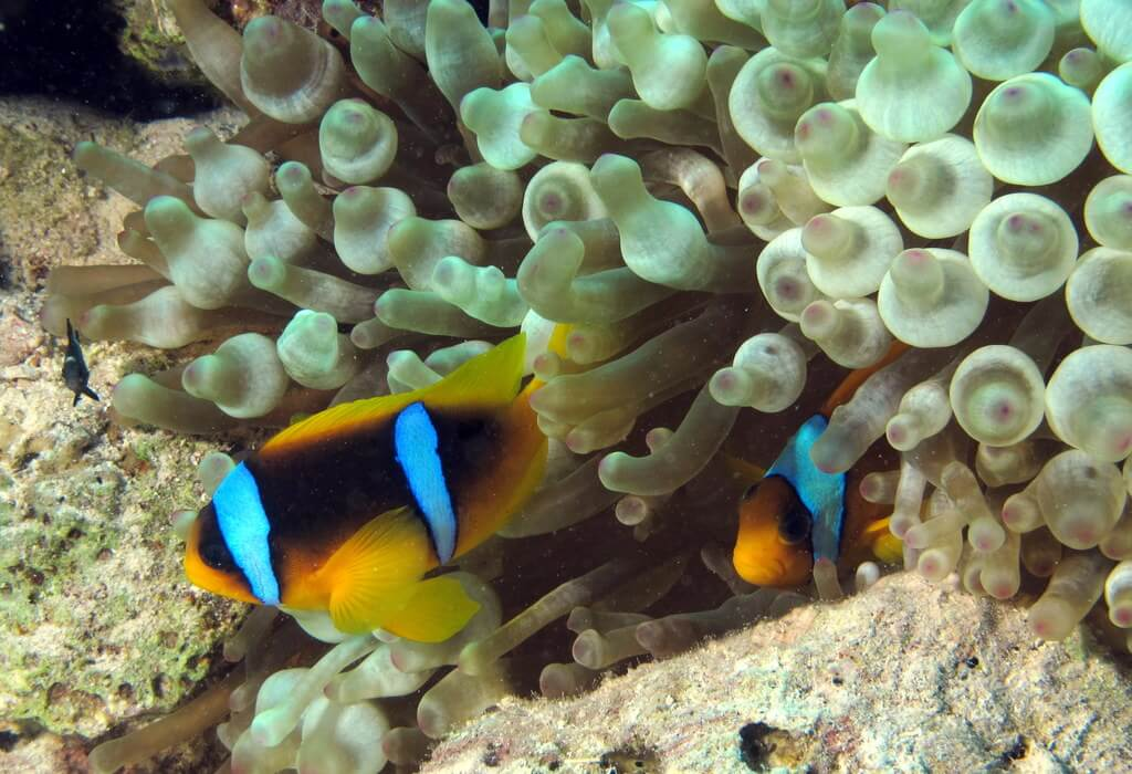 Clown fish in coral