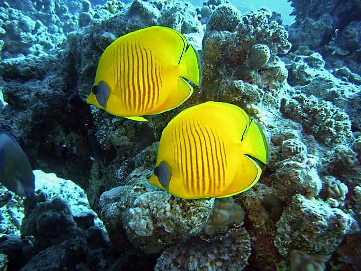 Yellow fish in the Red Sea coral