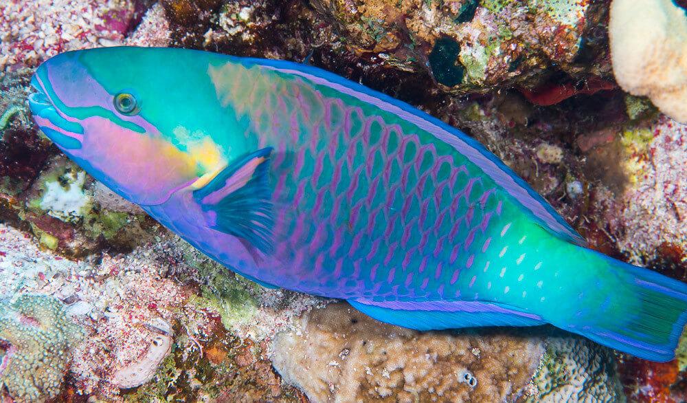 Reflective fish