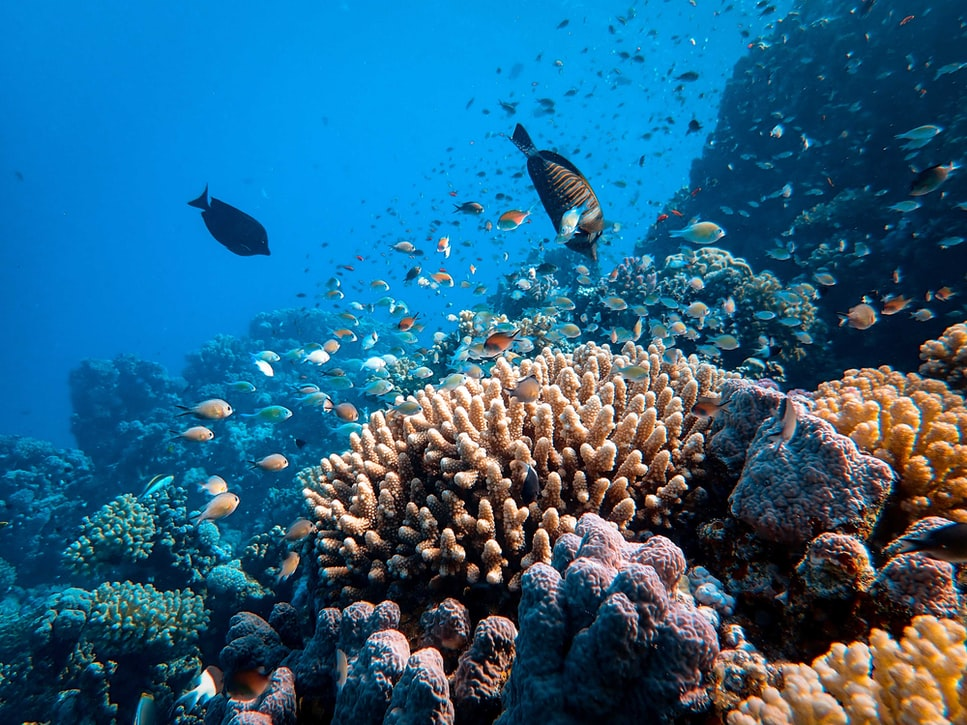 Fish swimming in the coral of the Red Sea