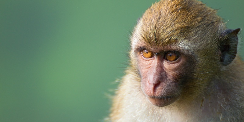 The Long tailed macaque monkey