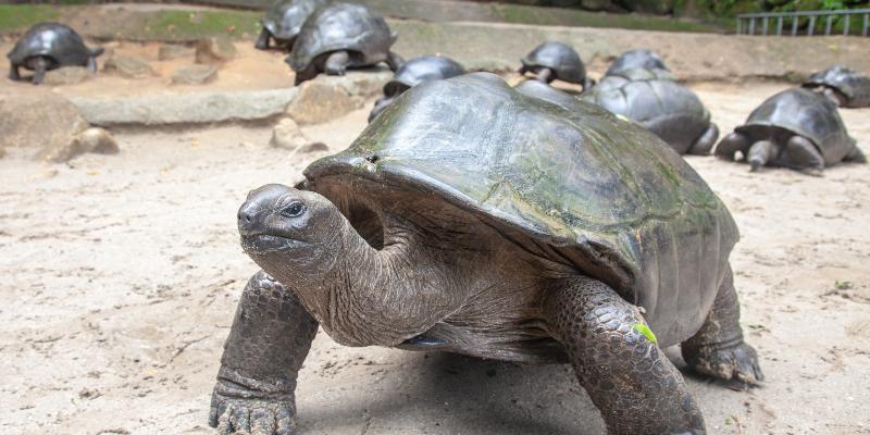 Aldabra giant tortoise. Image: Wikimedia