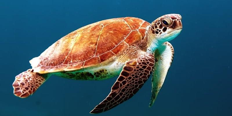 A sea turtle in it's natural habitat