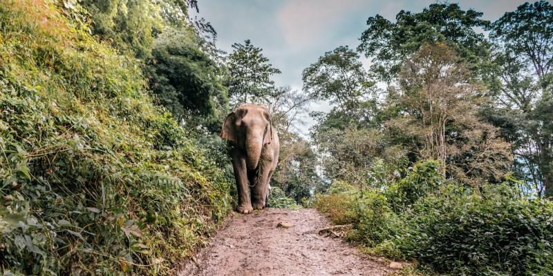 An elephant walks through the forest in Thailand