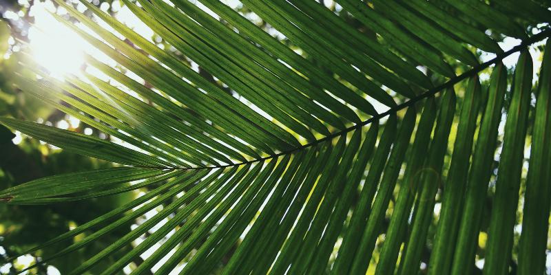 Coconut Palm in the Maldives